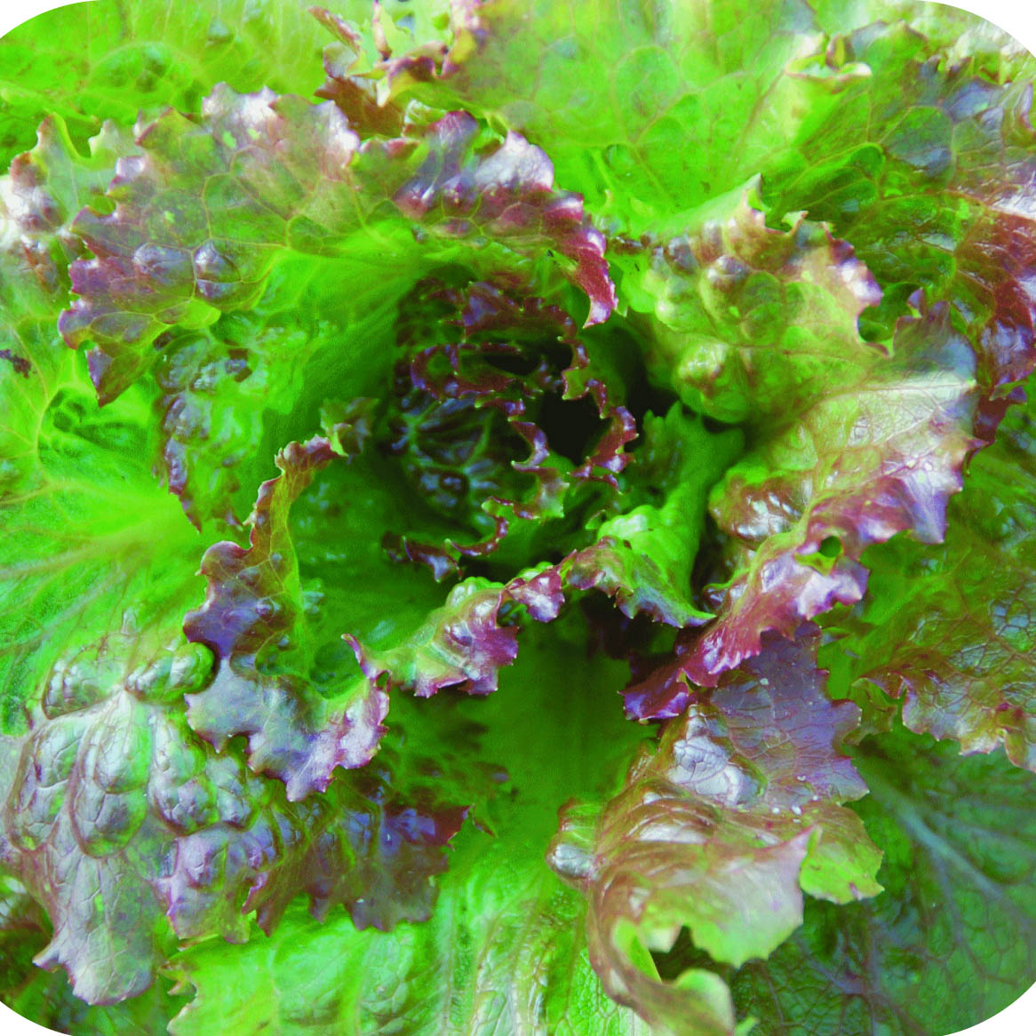 Lettuce; Salad Bowl Red (Leaf) – Great American Seed Up